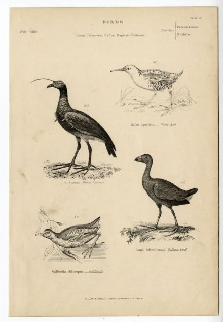 1864 BIRDS Horned Screamer Water Rail Gallinule Swamp Hen Sultana PRINT (28)